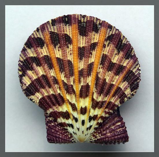 油画海扇蛤,采自菲律宾麦克坦岛,水深50-80米