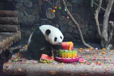济南野生动物世界|熊猫娅双生日趴