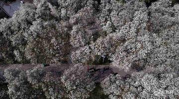 济南百花公园600株玉兰盛开 俯瞰如白雪