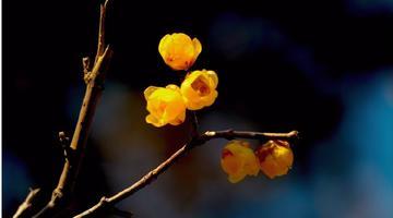 袅袅梅花欲舞 噙香寄赠春绪