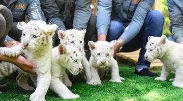济南野生动物世界雪虎五胞胎萌翻了