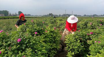 定陶玫瑰花价上涨被抢收 花农却难高兴