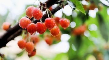 青岛本地大樱珠甜蜜上市 零售每斤35元