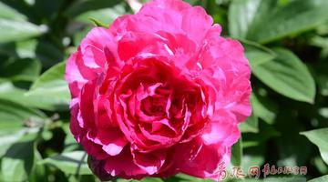姹紫嫣红 青岛中山公园牡丹芍药盛开