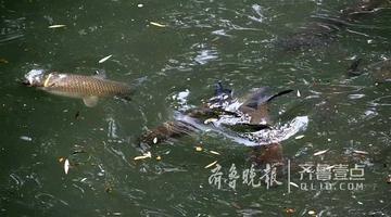 大明湖现大鱼群 游客惊呼一锅炖不下