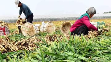 青州1.8万亩优质大姜丰收上市 姜农抢收