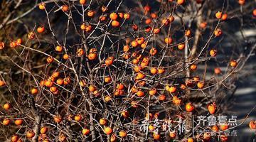 濟南南山秋深 藍天紅柿成絕美風景