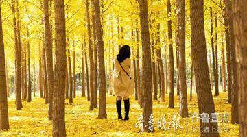 東營有一片銀杏林 金黃色如夢如幻