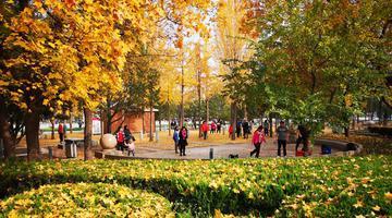 济南:泉城广场银杏林金黄满地迎客来
