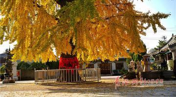 """青岛1600岁银杏树披上""""黄金甲"""""""