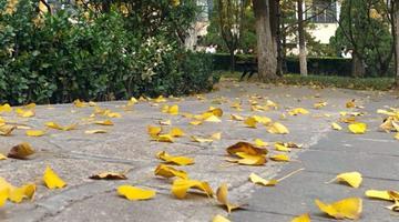 校园里的初冬 落叶满地美美哒