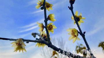 千佛山上的腊梅花 迎风初绽放