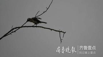 鸟儿立枝头 为寒冬的枯树增添了活力