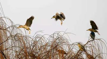 惊起一片夜鹭 大明湖的夜鹭归巢