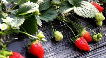 """春季的""""莓""""好时光 隔着屏幕感受甜"""