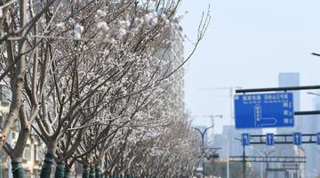 """济南城区内最长""""樱花大道""""首迎盛开"""