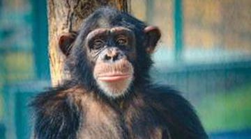 """""""巧克力""""驾到 济野黑猩猩大家族再添新成员"""