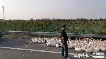 山东东吕高速大堵车 原来一车大鹅翻路上了