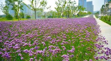 济南绸带公园这有一大片紫色花海好美