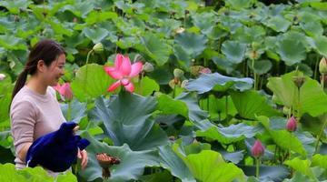 荷香阵阵 济南东郊雨后美景迷人