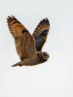 又凶又萌 黄河北拍到的短耳鸮