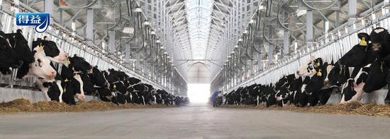 图为:得益乳业第二牧场现代化、规模化、国际化牛舍