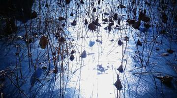 冬日大明湖 冰封荷花别样美