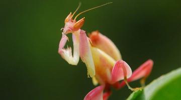 惊艳 粉色螳螂你见过吗