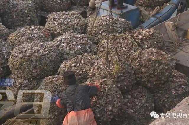 胶州湾海冰融化 一种青岛人爱的海鲜大量出现