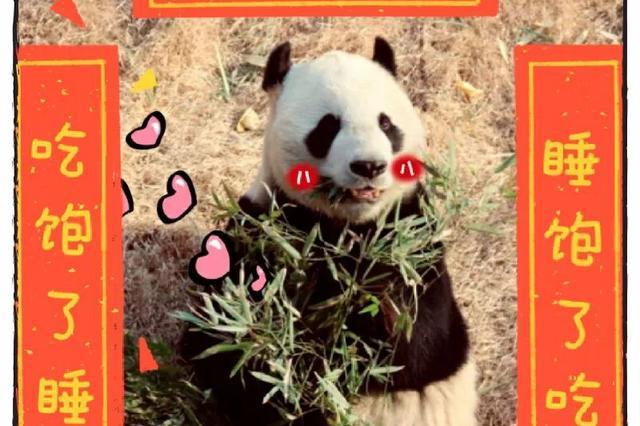 住在泰安的大熊猫年夜饭吃的啥?我爱发糕,味道好好!