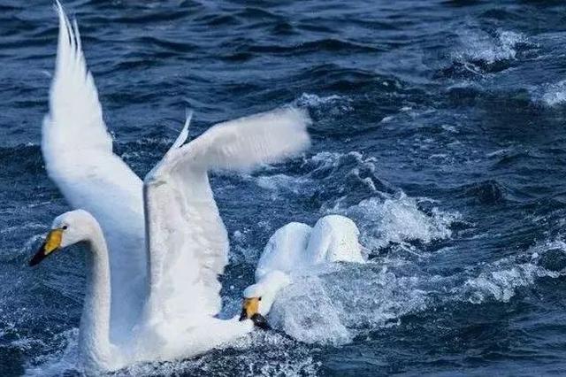 威海大天鹅要回家了 想要一饱眼福的朋友们抓紧了