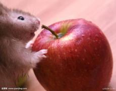 男子吃被老鼠咬过的苹果 染上肾综合征出血热送命