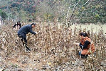 山东开展重大病虫害越冬基础调查 玉米螟高于去年同期