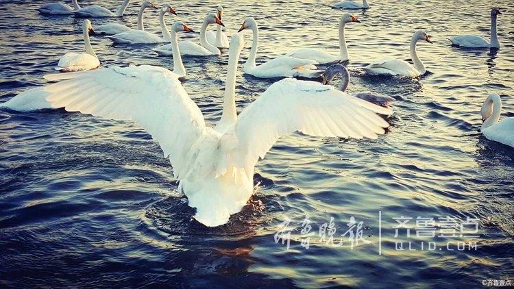 威海烟墩角邂逅一群白天鹅