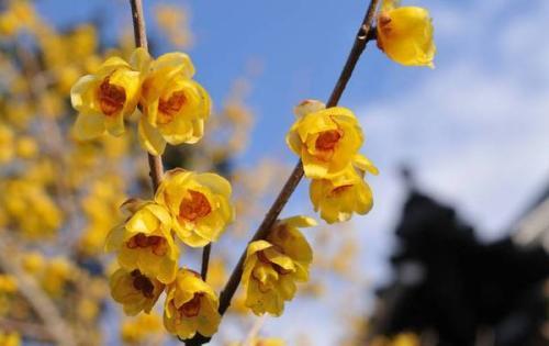 今冬首波蜡梅在古猗园绽放 清香弥漫现花叶同株景象