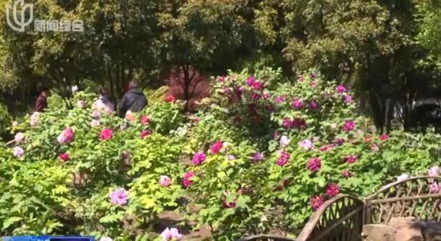 视频:秋霞圃百年古牡丹绽放 游客纷至沓来