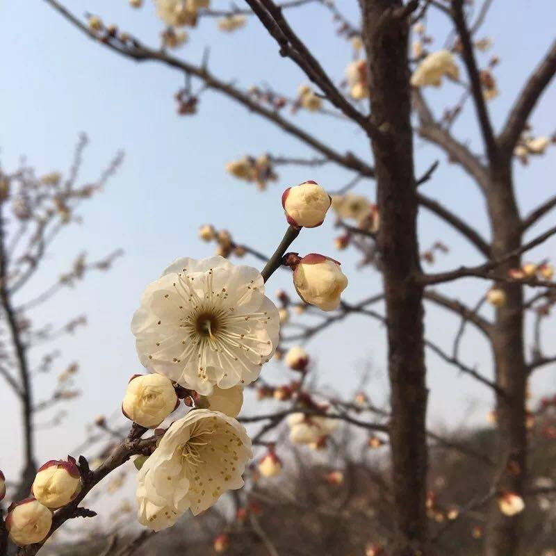 视频:申城早梅绽放暗香浮动 春节将迎最佳观赏期