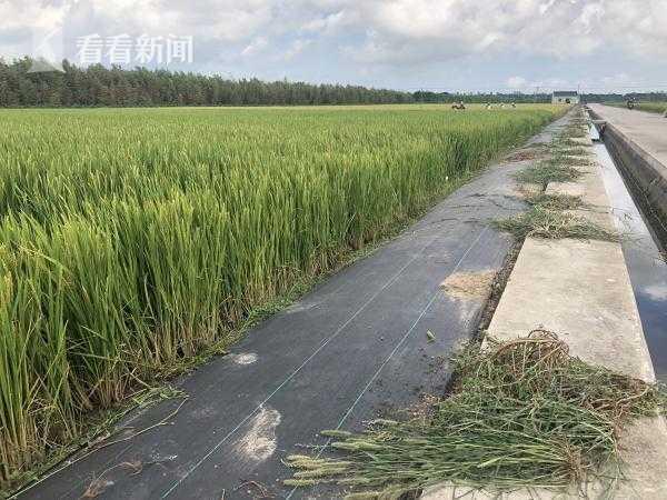 视频:优质水稻崇明选种 首批有机早稻开割
