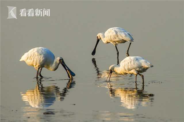 上海地区测得3只黑脸琵鹭 全球仅存3941只