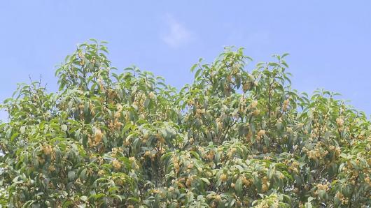 视频:上海秋意初起早桂吐蕊 黄金周将迎盛花期