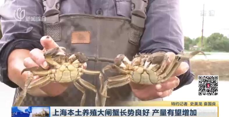 视频:上海本土养殖大闸蟹长势良好 产量有望增加