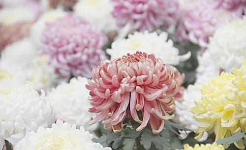 上海菊花展迎最佳赏花期 景致美妙富有自然野趣