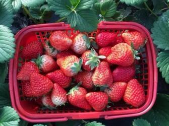 盘点魔都摘草莓圣地