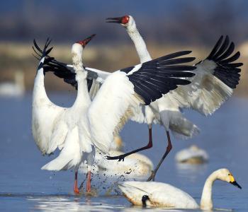 珍稀白鹤时隔8年再临上海 属全球性濒危物种