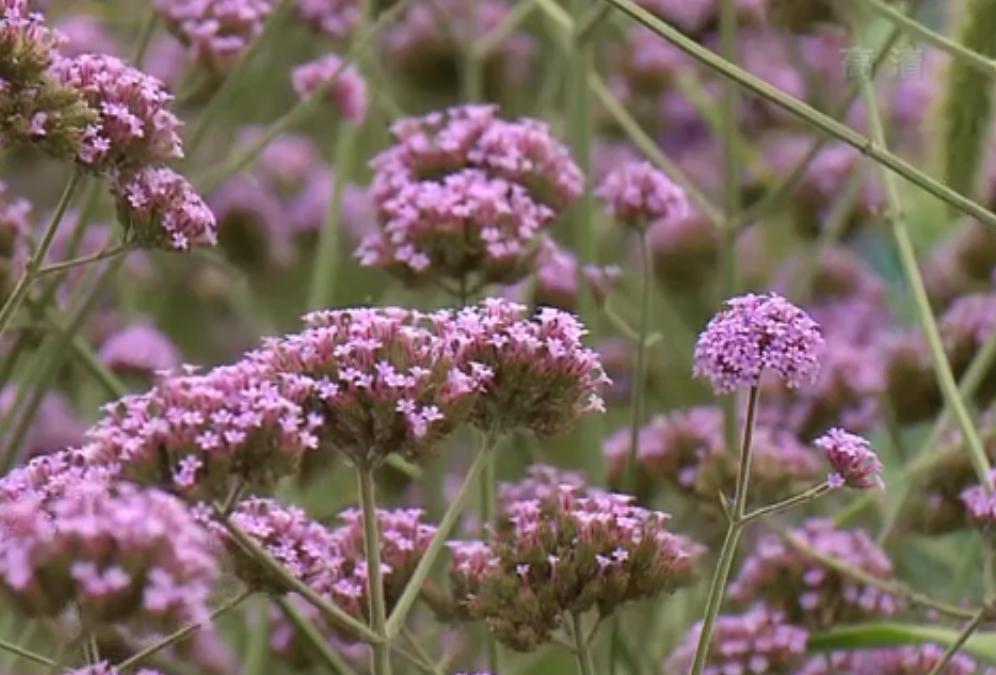 视频:青浦400亩薰衣草进入盛花期 如梦如幻一望无际