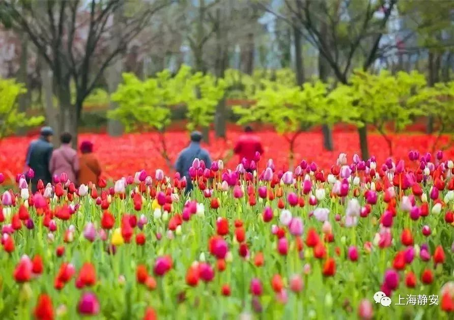 郁金香花博会今年免票入园 面积达24000余平方米