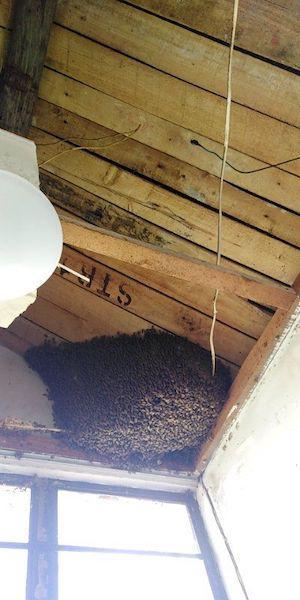 楼顶施工牵出超大马蜂窝 民警消防合力摘除