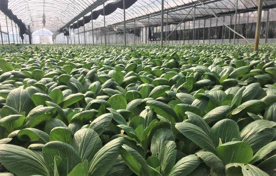 沪加强绿叶菜抢种补种力度 地产绿叶菜日均上市3000吨
