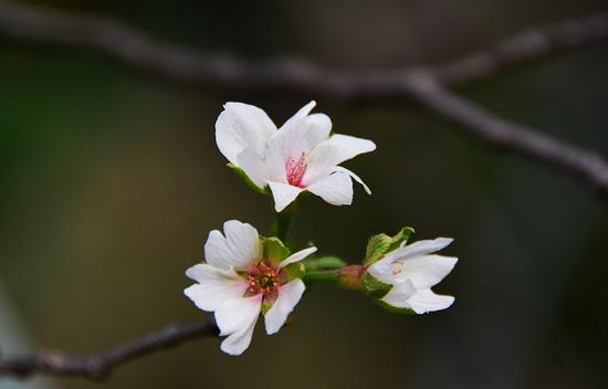 上海植物园秋樱绽放枝头 秋日限定款