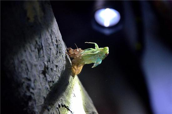 """图说:运气好的观察者,正好遇到金蝉脱壳的""""现场直播"""",突然被光照,蝉会不舒服吗?"""